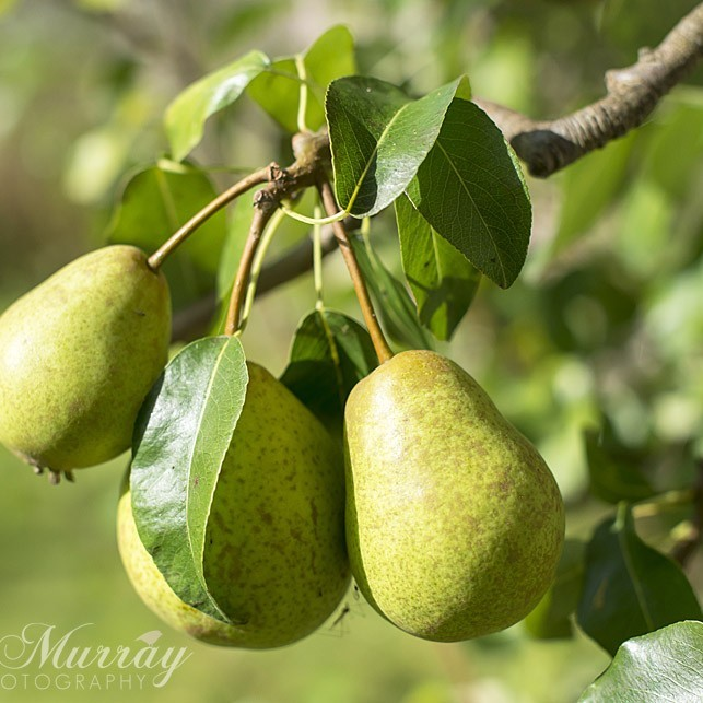 Pears ripe and ready for the picking.