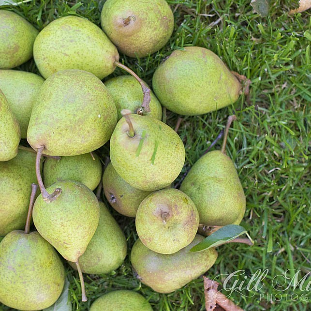 A full crop of Scottish pears ready to eat