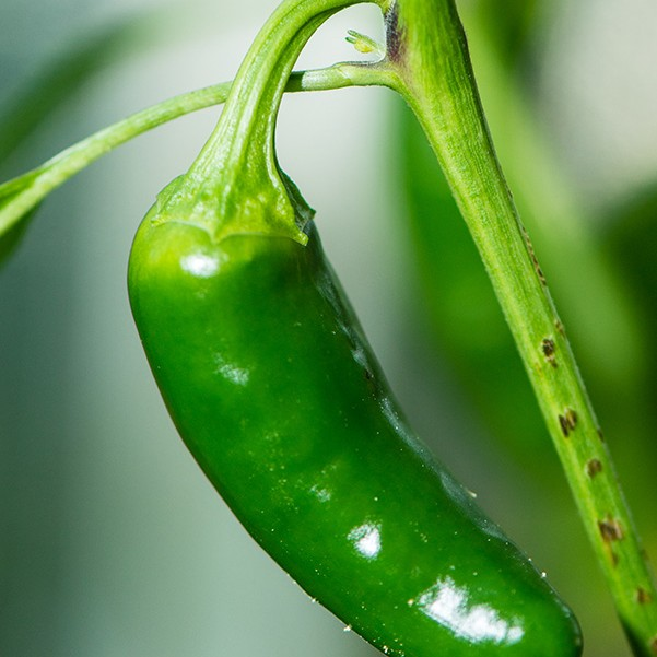 The Chilli is a vital ingredient of our winning soup!