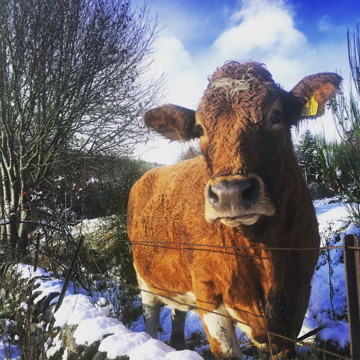 Snowy cow, Keltneyburn @little.scottish.one