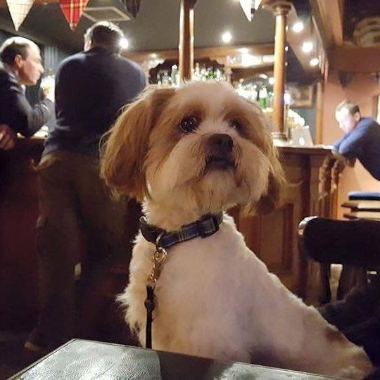 Baxter outr Dog Friendly Perthshire ambassador in the Taybank pub in Dunkeld having a drink celebrating his owner Katie's engagement!