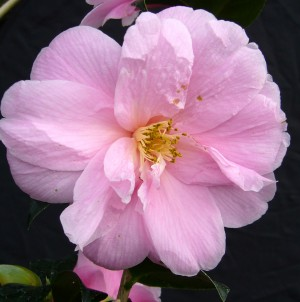 Growing Beautiful Camellias