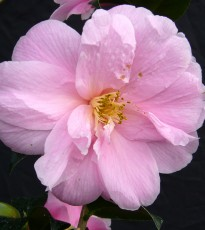 Ken Cox, Small City Gardens columnist gives his expert advice on growing beautiful camellias.