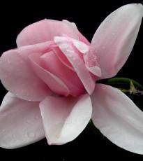 Growing Magnolias In Scotland