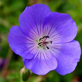 Long Flowering Plants growing advice from Ken Cox Glendoick Garden Centre