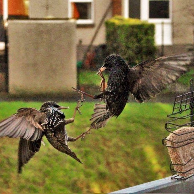 Two blackbirds fighting over the bird feeder, battling with their feet!