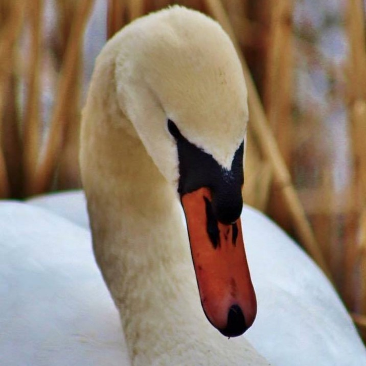 Perthshire wildlife is vast and beautiful. This elegant swan looks beautiful with the sharpness of it's orange beak against the crisp white colour of it's body.