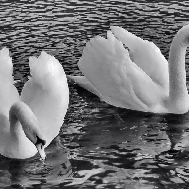 Beautiful and majestic Swans swimming in the pond on the South Inch Park.