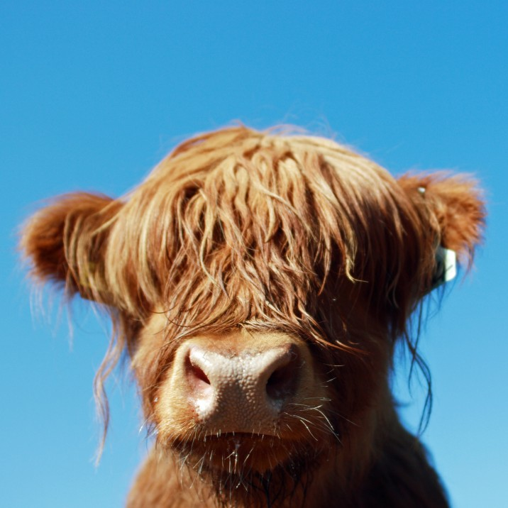 We LOVE a Highland Coo,  Sooo Cute!