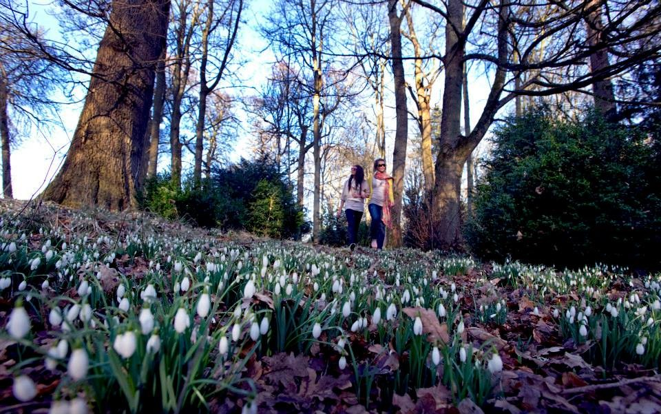 Scone Palace Snowdrops ground shot