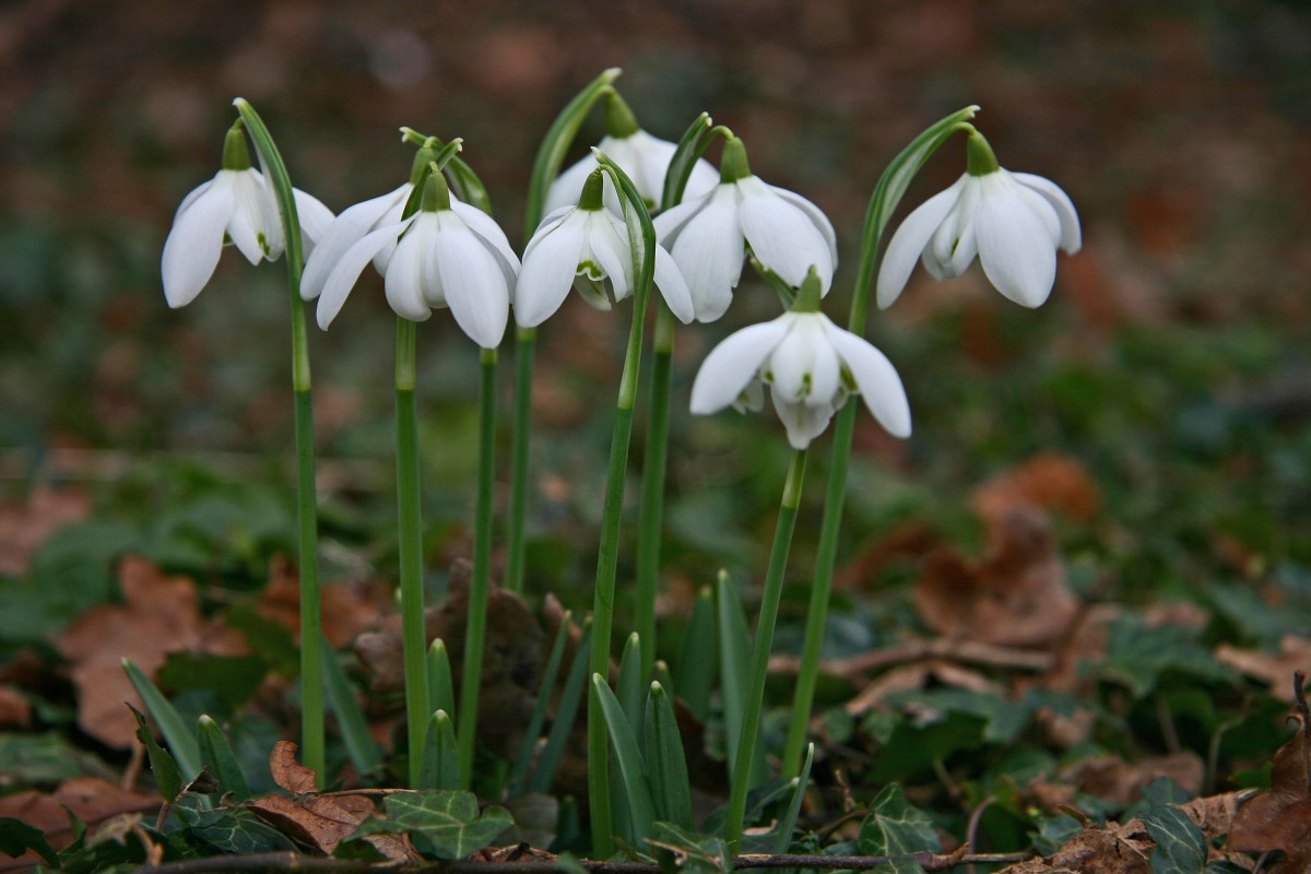 Scone Palace Snowdrops close up