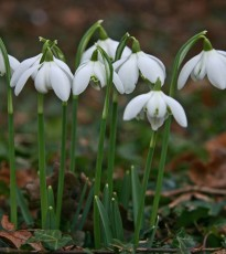 Enjoy the Scottish Snowdrop Festival throughout various walks and gardens in Perthshire. Many are free events, and the ideal way to amuse the kids.