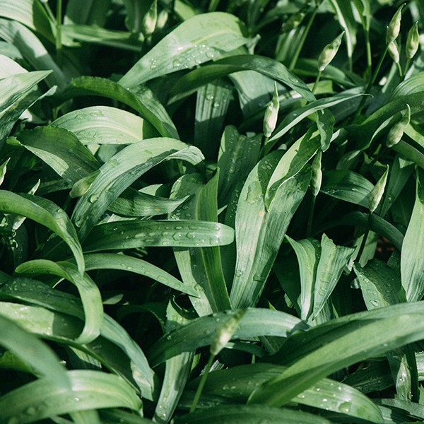 Tasty wild garlic leaves.
