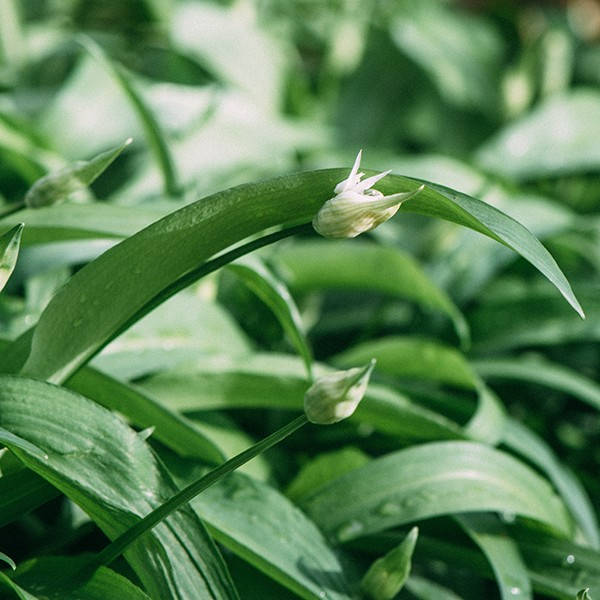 Little white aromatic wild garlic bud.