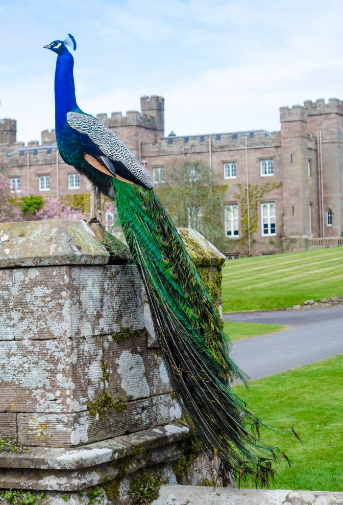 Scone Palace - Peacock