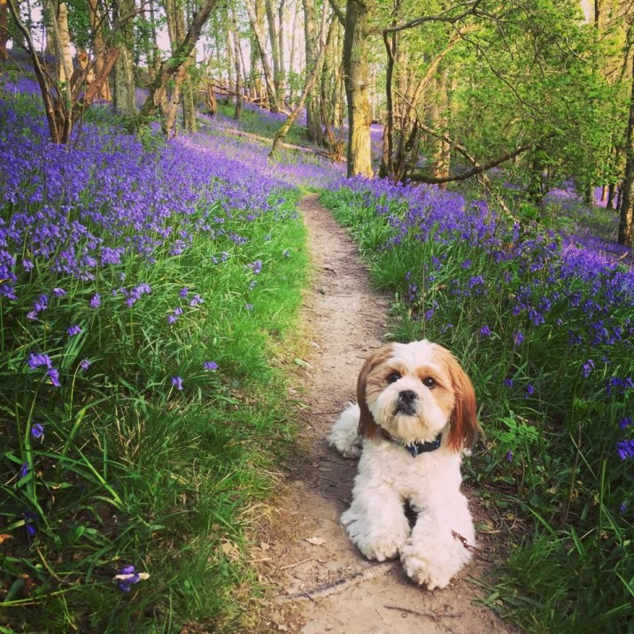 Baxter loving life with the bluebells!