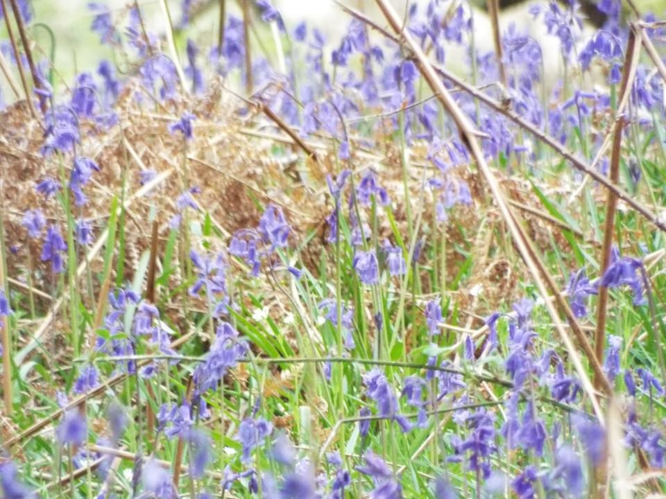 Perth's bluebells!