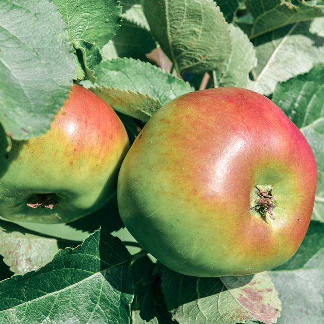 Beautiful ripe homegrown apples are delicious and this crumble brings out their best flavours and tastes.