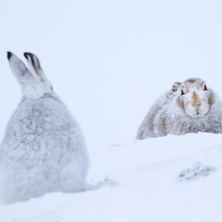 Pair of Hare's