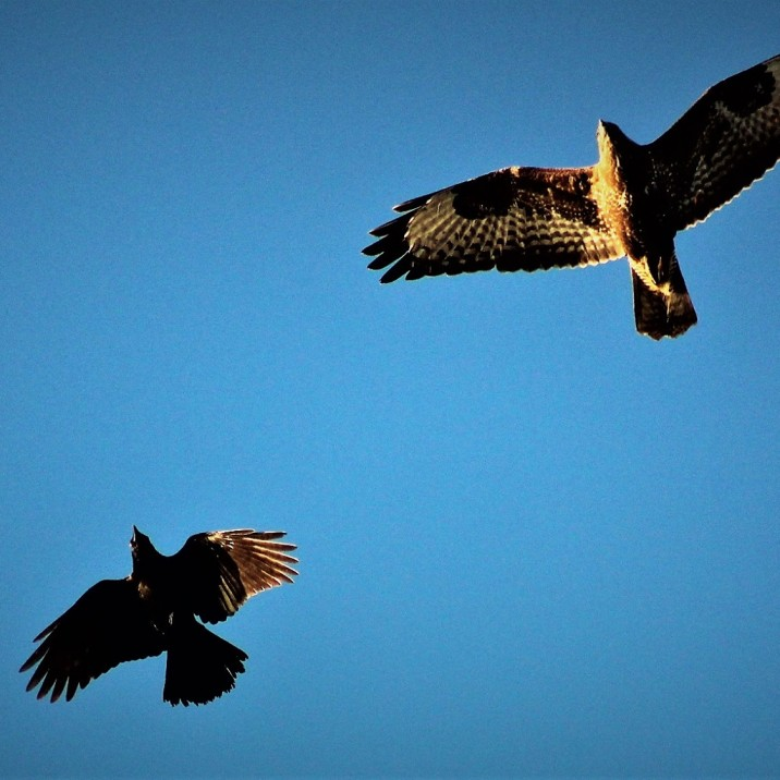 Crow and Buzzard in flight