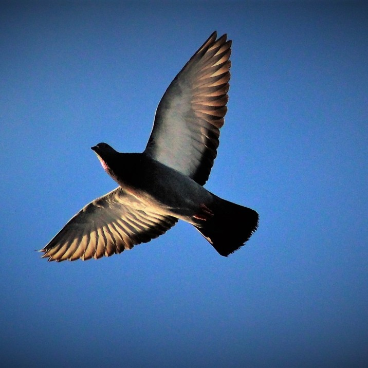 Humble pigeon in flight