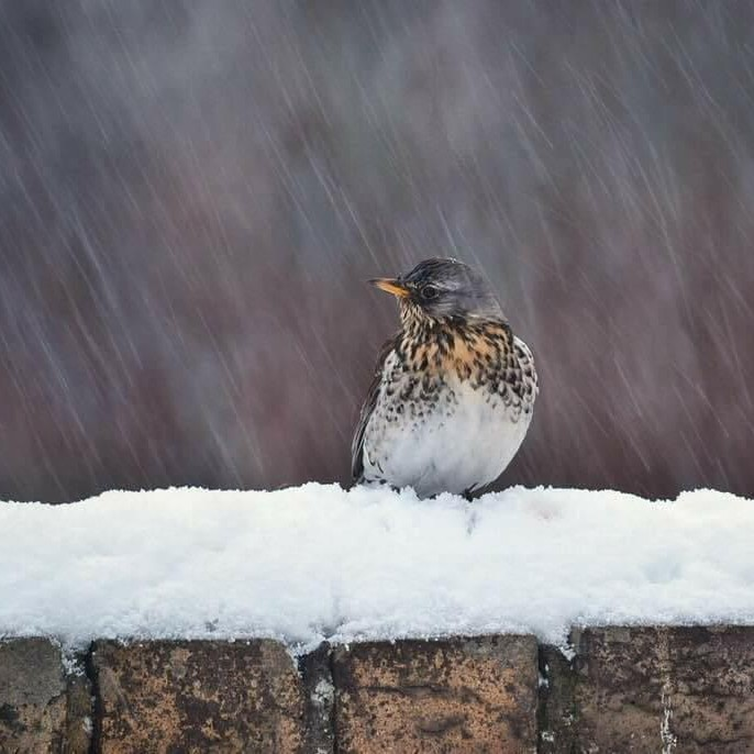 A Fieldfare nestled on a snow-topped wall.