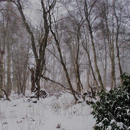Scone Woods in the snow