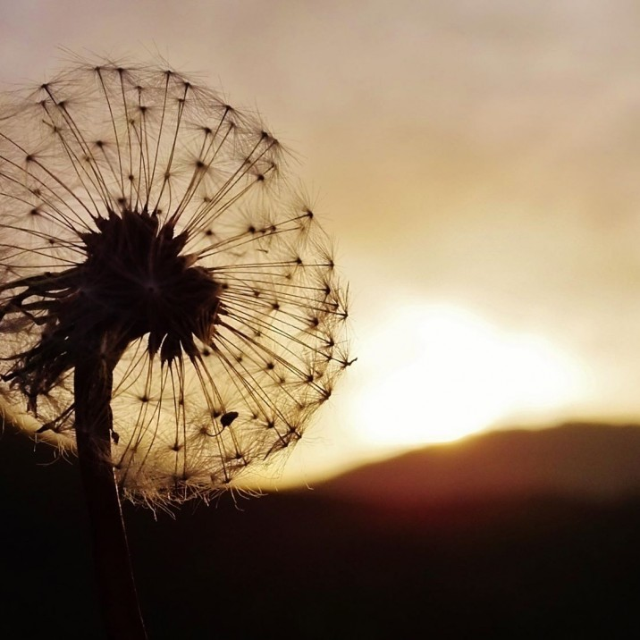 """A common flower, a weed that no one sees, yes. But for us, a noble thing, the dandelion."" 