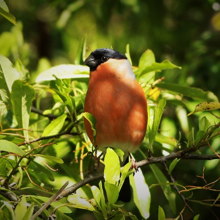 Male Bullfinch in all his summer finery.