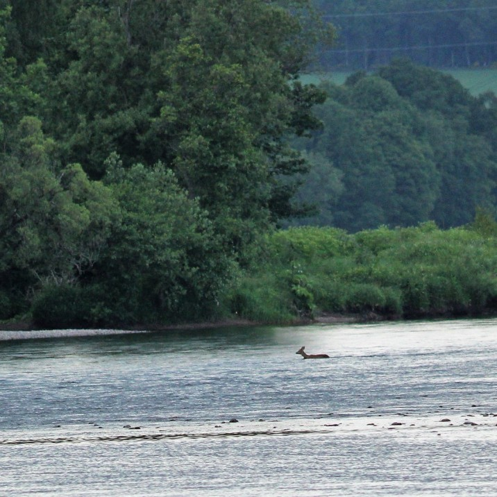Deer swimming across the Tay  behind fisherman who has no idea it's even there!