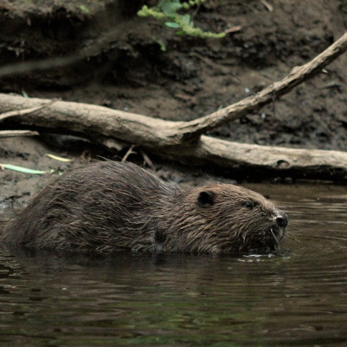 Adult River Tay Beaver in the back waters of Tay  just north of the city centre.