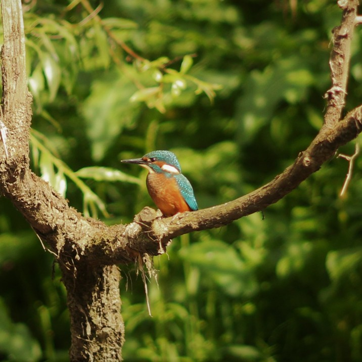 Young Kingfisher on the Tay in it's full colourful beauty.