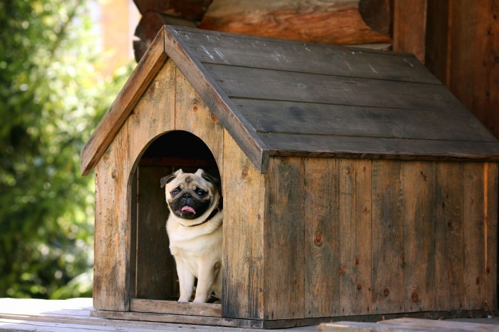 A pug in a wooden doghouse.